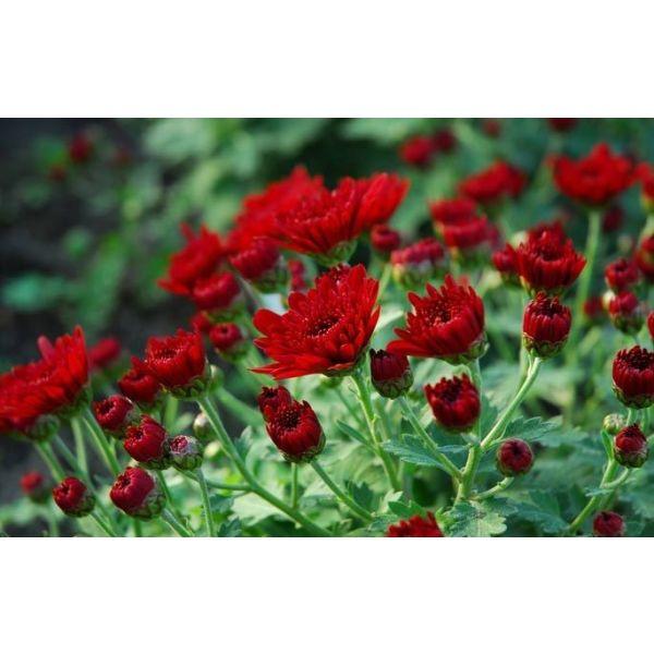 10 plantes fleurs d automne pour jardini re ou jardin. Black Bedroom Furniture Sets. Home Design Ideas