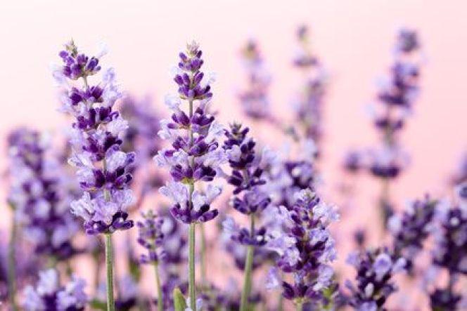 10 plantes odorantes pour un jardin parfumé