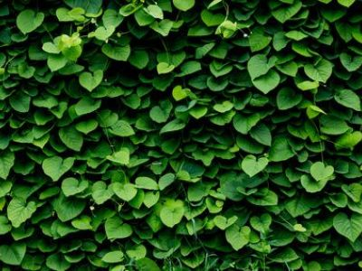 10 types de plantes grimpantes.