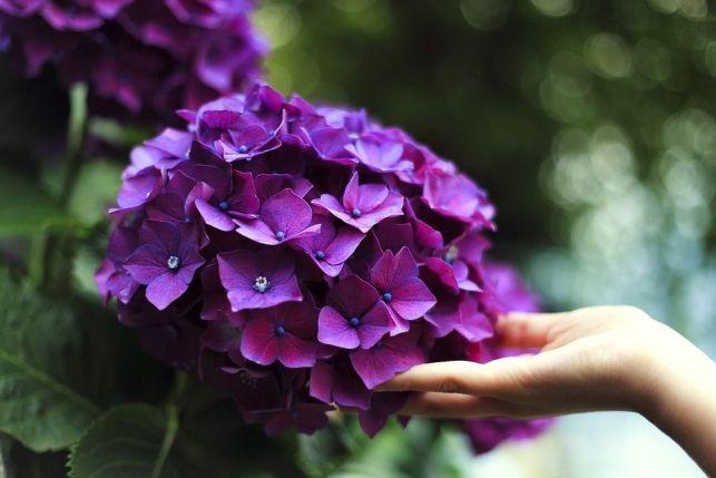 5 astuces pour avoir de beaux hortensias