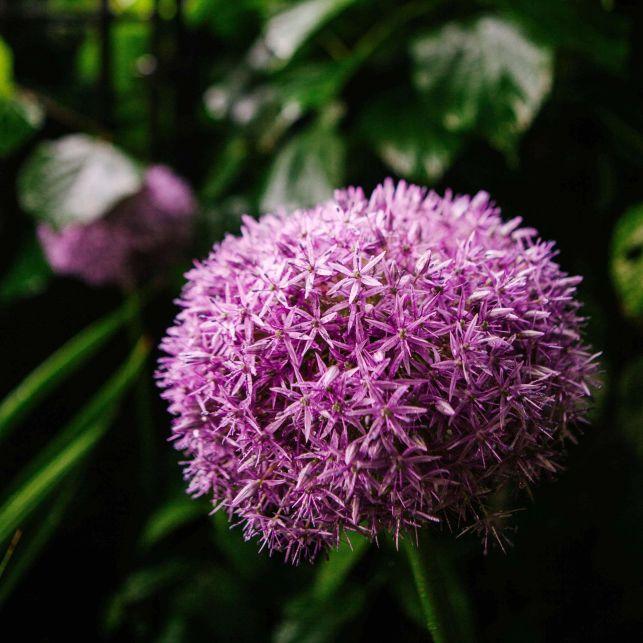 Avec sa forme de boule violette, l'allium décorera vos massifs floraux