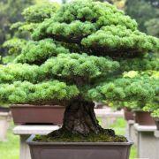 Comment cultiver un bonsaï ?