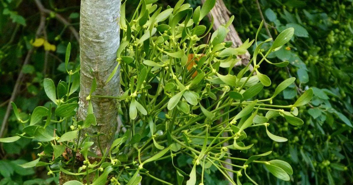 Comment liminer le gui dans un arbre - Comment eliminer des fourmis dans le jardin ...