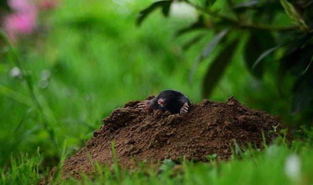 Comment se débarrasser des taupes de jardin ?