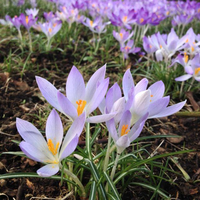 Petite fleur violette bulbeuse, le crocus donnera des airs de printemps à vos pelouses et jardinières