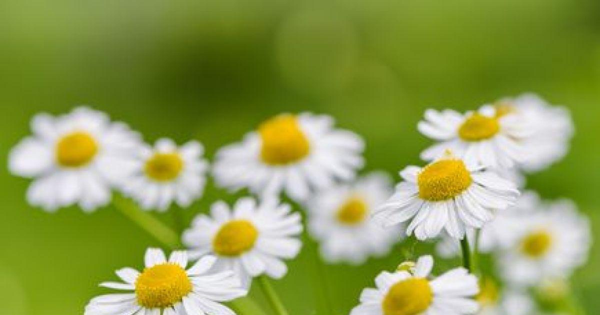 Cultiver des plantes m dicinales dans votre jardin for Trouver de l or dans son jardin