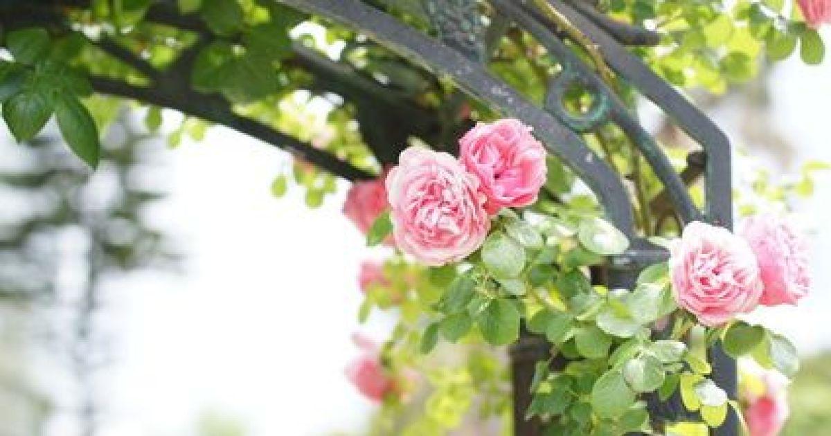 D raciner et d placer des rosiers quand et comment faire - Deplacer un rosier ...