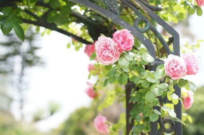 Déraciner et déplacer des rosiers