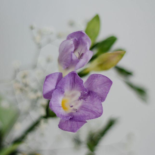 Petite fleur délicate aux pétales violets et parfumés, le freesia sublimera vos jardins et bouquets