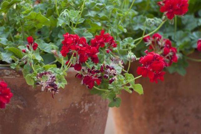 Garder et protéger vos géraniums l'hiver