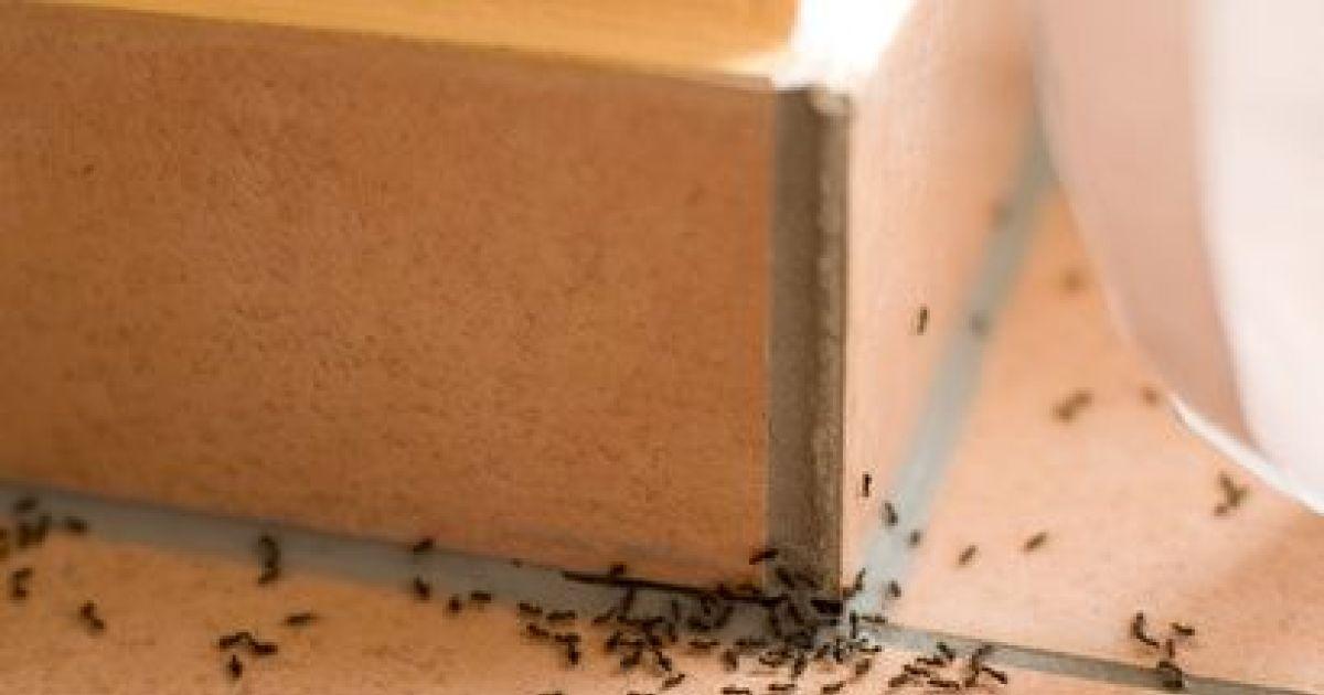 invasion de fourmis que faire. Black Bedroom Furniture Sets. Home Design Ideas