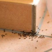 Invasion de fourmis : que faire?