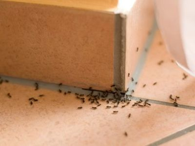 Invasion de fourmis : que faire ?