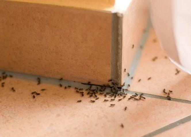 Invasion de fourmis : que faire ?