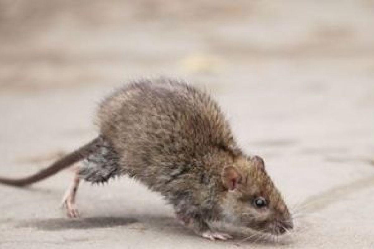 Invasion De Rats Et Souris Dans Une Maison Que Faire