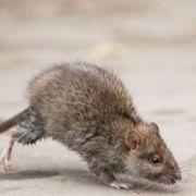 Invasion de rats et souris dans une maison : que faire?