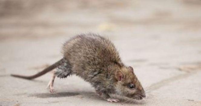 Invasion de rats et souris dans une maison : que faire ?