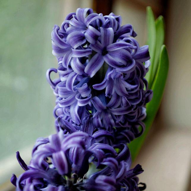 Avec ses grappes parfumées et ses pétales étoilées, la jacinthe colorera votre terrasse dès le printemps