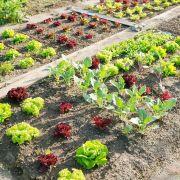 La rotation des cultures dans un jardin