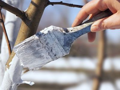 Le chaulage des arbres : pourquoi et comment faire ?