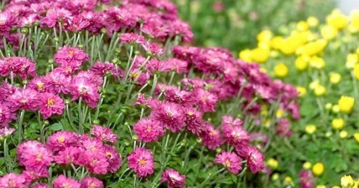 Les chrysanth mes fleurs d automne culture et entretien for Entretien jardin automne