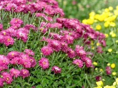 Les chrysanthèmes : fleurs d'automne, culture et entretien