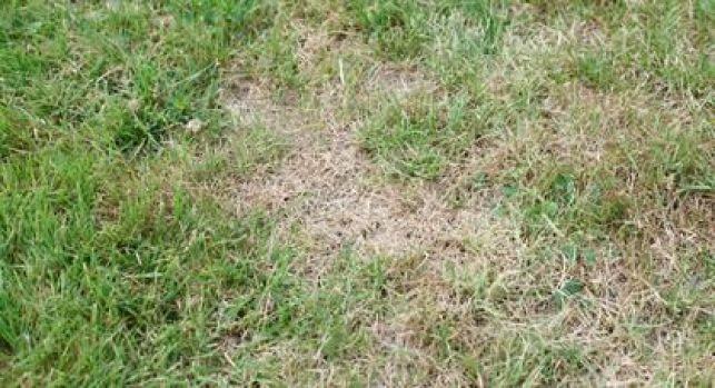 Un gazon malade peut rapidement perdre sa couleur verte