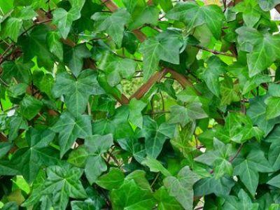 Les plantes envahissantes de votre jardin