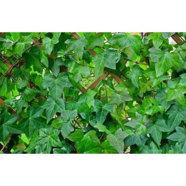 Les plantes envahissantes de votre jardin - Quelles sont les plantes que l on peut bouturer ...