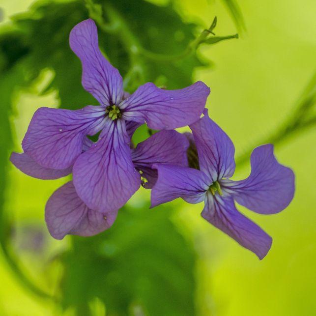 Petite fleur disposée de 4 pétales violets, la lunaire colorera votre jardin en douceur