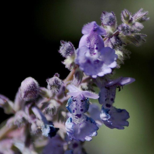 Agrémentez votre jardin d'une touche de romantisme avec quelques buissons de népéta d'un bleu violacé