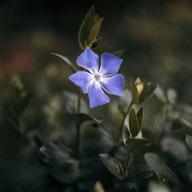 Avec la belle teinte de bleu violacé de ses 5 pétales, la pervenche éclairera votre pelouse