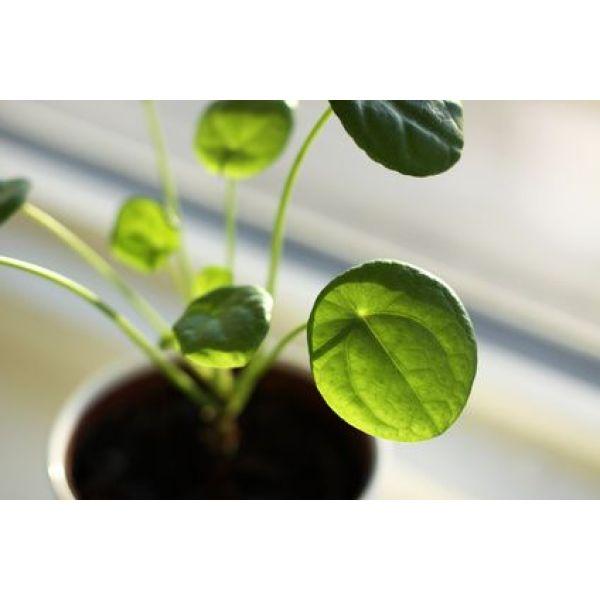 Plante int rieure le pilea for Plantes d interieures