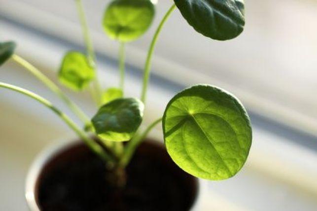 Plante intérieure : le pilea