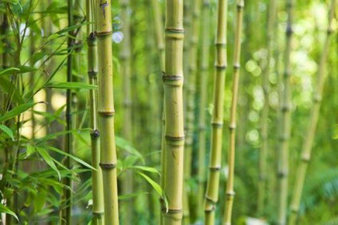 Planter du bambou dans un jardin