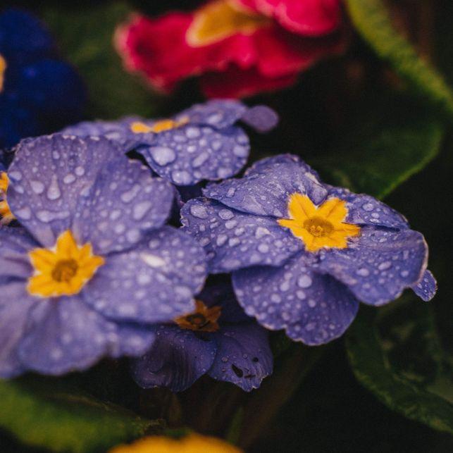 Bi-colore, la primevère apportera de la couleur au jardin dès les premiers rayons de soleil printanier