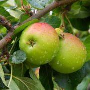 Quels arbres fruitiers peut-on mettre en pot?