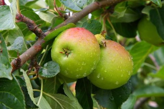 Quels arbres fruitiers peut-on mettre en pot ?