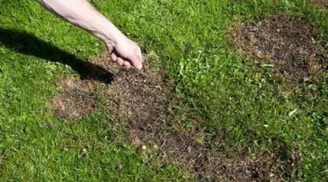 Regarnir une pelouse