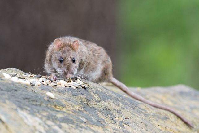 Rongeurs dans la toiture (rats, lérots, loirs) : que faire ?