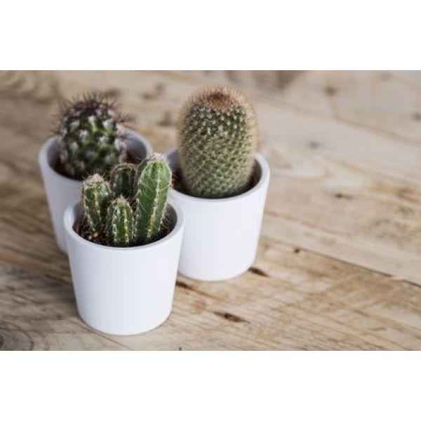 Un Cactus à La Maison